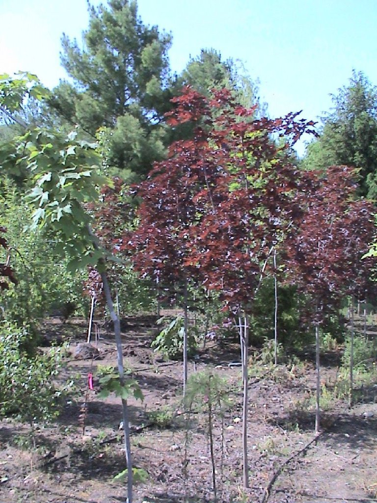 Crimson king maple trees for sale for Maple trees for sale