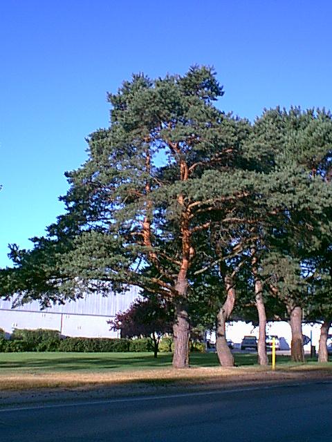 Blue Link Phone Number >> Scotch Pine