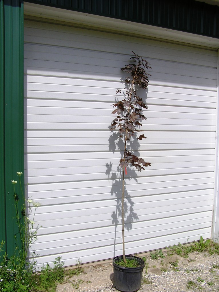 Cost of mature crimson king maple tree