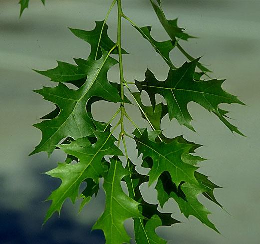 external image Quercus%20palustris%20%206.jpg