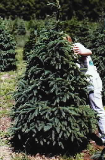 - Black Hills Spruce Trees